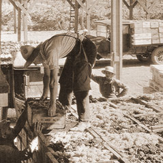 Bringing in the harvest c. 1930.
