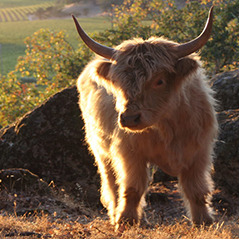 Romeo's long horns conduct cosmic energy from the air to our farm.